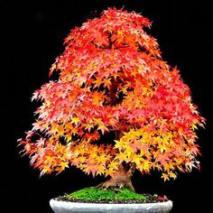 Japanese maple bonsai is an ideal tree for bonsai. A tree with different coloured leaves during different season. Learn how to prune this bonsai tree properly. Red Maple Bonsai, Japanese Maple Bonsai, Japanese Red Maple, Juniper Bonsai, Maple Tree, Bonsai Acer, Bonsai Seeds, Tree Seeds, Ikebana
