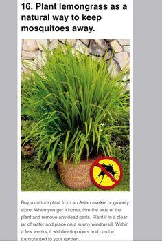 Lemon grass and Mosquitos