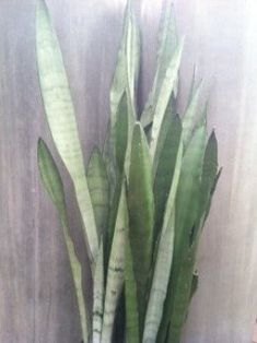 Sansivieria, Snake Plant, Mother In Laws Tongue, or Devil's Tongue, no matter what you choose to call it everything you have ever wanted to know about keeping a happy healthy Sansevieria plant lies in this article. Look inside the Thoughthole find out more.