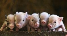 I have a micro mini pig :)