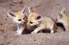 ANIMALS TIME : Desert fox time (Hora del zorro del desierto)