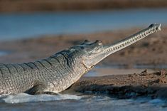 "Crocodile ""India gavial"" of endangered species such as the mushroom nose with a distinctive elongated mouth and"
