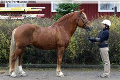 Finnhorse - stallion Pajatson Peli Harness Racing, Show Jumping, Dressage, Country Of Origin, Shades, Horses, Sunnies, Hunter Jumper, Eye Shadows