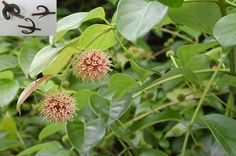 Herbal Medicine, Fennel, Benefit, Herbalism, Herbs, Healthy, Reading, Books, Libros