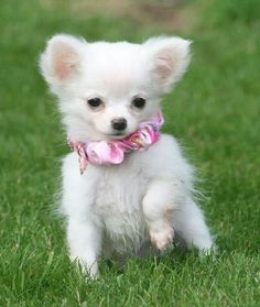 i want an all white Chihuahua puppy! her sophie would look so presh together!