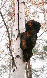 Chaga Siberian Mushroom Tea - Chaga Mushroom Information