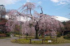Weeping sakura tree at Koshikawa Korakuen   © Xmhaoyu/WikiCommons