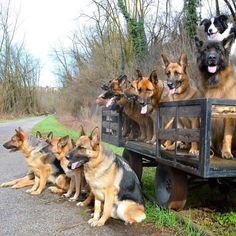 Quite the pack! German Shepherd Pack | German Shepherd family portrait.