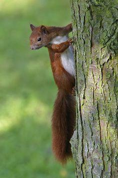 L'écureuil roux - Eichhörnchen (Sciurus vulgaris)   Naturfotografie Axel Horn