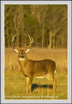 tennessee whitetail deer | deer buck, Cades Cove, Great Smoky Mountains NP, TN. Whitetail deer ...