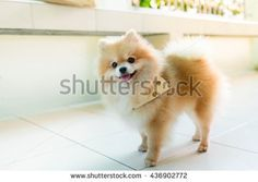 Explore 379 high-quality, royalty-free stock images and photos by pattarawat available for purchase at Shutterstock. Pomeranian, Royalty Free Images, Husky, Smile, Sun, Stock Photos, Orange, Cats, Animals