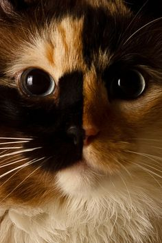 Calico cats have such great patterns and colors, some which oddly distort their beautiful faces.