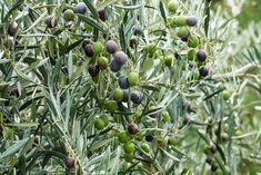 Os contamos los cuidados típicos y comunes para el cuidado del #olivo.#Árboles #frutales