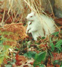 Squirrel- albino. n There used to be a population of them in the small town of Kenton, Tn.  Don't know if it's still there.    This article is about Phenology - gardening using nature as an indicator.