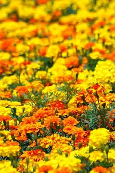 Yellow, orange marigolds - Marigold flowers are known to give away a strong scent that helps in keeping away the bugs. Organic gardeners often grow marigold around their crops and plant to keep aphides and mosquitoes away. Jordan would love the orange Outdoor Plants, Garden Plants, Outdoor Gardens, Sun Garden, Flower Beds, My Flower, Yellow Flowers, Beautiful Flowers, Growing Marigolds