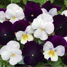 Sorbet Blackberry Sundae Mix Viola - Annual Flower Seeds