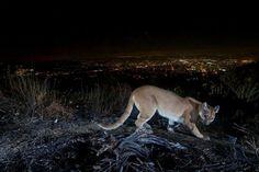 news pressroom press clips does cougar vashon island