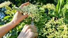 Jaké léčivé rostliny sbírat v květnu a co léčí černý bez, bříza bělokorá, bršlice kozí noha, kontryhel, sedmikráska, kopřiva a hluchavka bílá. Celery, Parsley, Herbs, Vegetables, Gardening, Food, Lawn And Garden, Essen, Herb