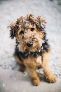 welsh terrier poodle mix my ideal dog ideas on pinterest welsh terrier irish 5298