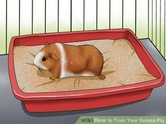 Image titled Train Your Guinea Pig Step 6