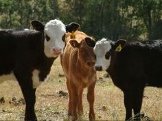 How To Raise Calves - What To Expect When You Start Raising Your Own Herd Of Calves