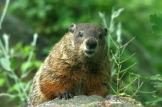 surprised groundhog photo