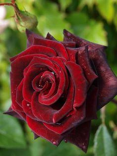 my most favorite flower