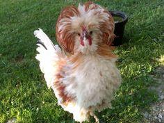 chickens | http://www.backyardchickens.com/forum/uploads/23665_pjsface.jpg