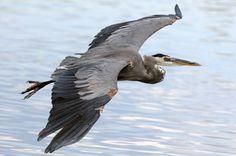 Great Blue Heron ~ Graham Owen Photography