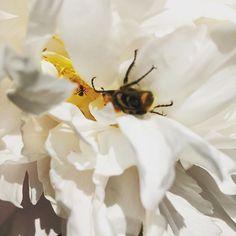 #humla #pion #vitpion #vit #pollinering
