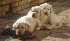 LABRADOR Puppies Vanilla and Calie #LabradorRetriever #labradorpuppy