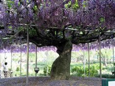 """""""Wisteria vines can break glass, break windows, break wood,"""" says Neil Mendeloff (good thing Rudi Giuliani's no longer mayor!).  """"It can be dangerous for homeless to sleep under,"""" Mendeloff says, because the big vines' canopies can suddenly collapse under their own weight. """"Moreover, wisterias are poisonous — two wisteria floribunda seeds can kill a child."""""""