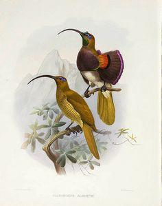 013-Ave del Paraiso de Albertis-A Monograph of the Paradiseidae-1873 D.G. Elliot
