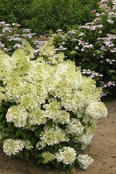 bobo hydrangea hydrangea paniculata 39 ilvobo 39 at dundee. Black Bedroom Furniture Sets. Home Design Ideas