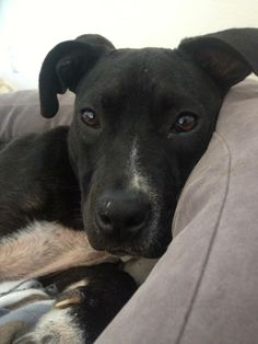 Meet Buttercup a Petfinder adoptable Staffordshire Bull Terrier Dog | Marina Del Rey, CA | PLEASE NOTE THIS IS A COURTESY POST.  THIS IS NOT A STAR PAWS DOG. FOR MORE INFO ON BUTTERCUP...