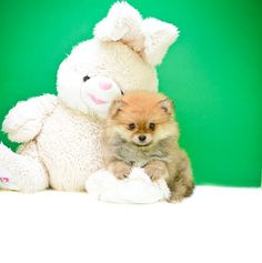 Pomeranian Puppies For adoption in Ohio, enjoy and adopt an adorable puppy from our website.