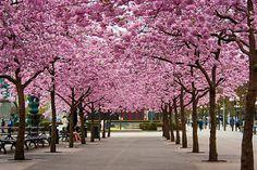 Cherry Blossoms at Kungsträdgården, Stockholm, Sweden   by Raxa R