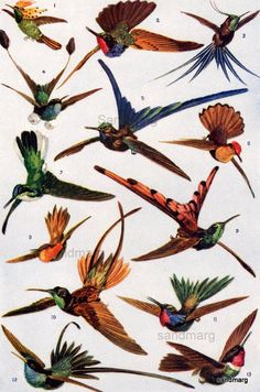 Hummingbirds in Flight  1921