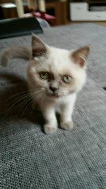 Bkh kitten ABGABEBEREIT in Erwitte