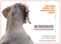 Here're some of our favorite Weim peculiarities: Smart Bumps Weimaraner puppies are known to have a more prominent occipital … Weimaraner Funny, Weimaraner Puppies, Vizsla, Dogs And Puppies, Corgi Puppies, Grey Dog, Gray, Golden Puppy, Dogs Of The World