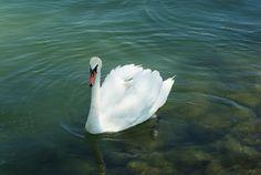 Balaton Hungary, Bird, Animals, Animales, Animaux, Birds, Animal, Animais
