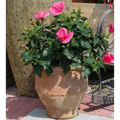 Add a tropical touch to your porch or patio with this stunner. Small Space Gardening, Garden Spaces, Tropical Patio, Easy Care Plants, Rose Of Sharon, Hardy Perennials, Foliage Plants, Garden Soil, Container Gardening