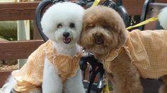 愛犬投稿:2犬は仲良し姉妹です  投稿者:ひめパパさん