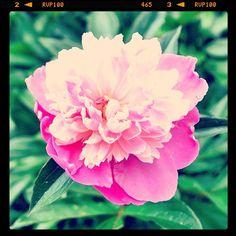 Rose, Flowers, Instagram, Pink, Florals, Roses, Flower, Blossoms, Pink Roses