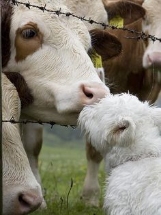 Westie kissing a cow! Too bad my westie would be CHASING a cow! Vida Animal, Mundo Animal, Beautiful Creatures, Animals Beautiful, Farm Animals, Cute Animals, Animals Kissing, West Highland White Terrier, All Gods Creatures