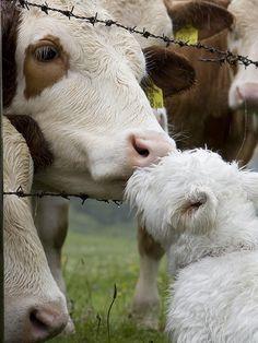 <3 westie Cow kisses