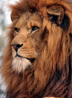 King of the Jungle I have always wanted to pet a lion. Lion And Lioness, Lion Of Judah, Beautiful Creatures, Animals Beautiful, Animals And Pets, Cute Animals, Nature Animals, Beautiful Lion, Lion Love