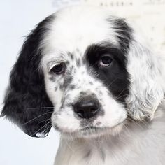 Do you remember the sweet innocent puppy Storm? Weve been told hes sometimes referred to as Hurricane these days. A true confirmation hes maturing at the average speed and style of an English Setter Paw Patrol Sky Party Cake Toy