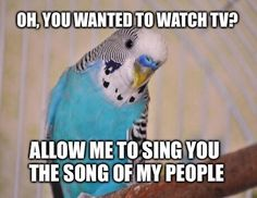 When I had a lot of parakeets, this was them every evening. We had to lower the tv volume so they would lower their voice too. They are so cute.