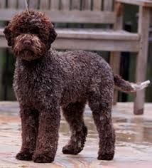 Image results for Lagotto Romagnolo